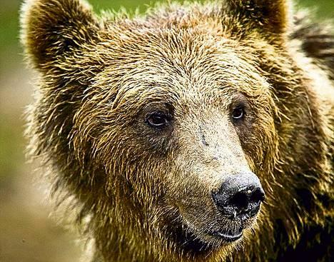 Karhunmetsästys päättyi lokakuun lopussa.