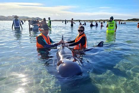 Rantaan huuhtoutuneiden pallopäävalaiden pelastusoperaatioon osallistui maanantaina yli 60 vapaaehtoista.