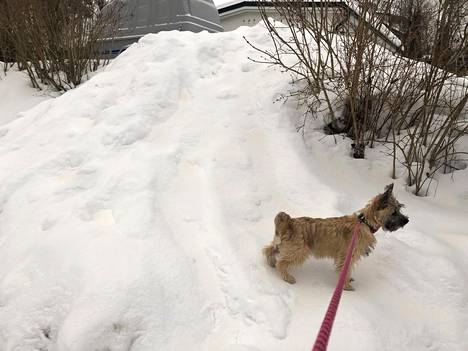 Vartiokylässä ulkoillut Nuppu-terrieri liukasteli ruskealta vivahtavan lumikinoksen päällä tiistaina.