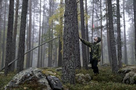 Ympäristöjärjestö Greenpeacen metsävastaava Matti Liimatainen tutkii retkeilyalueen järeää metsää Kaarresalon saaressa Oulujärvellä Vaalassa.