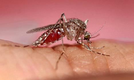 Etelässä on saattanut nähdä hyttysen jo maaliskuussa.