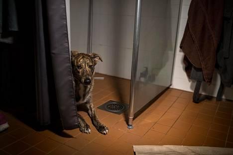HS:n kuvaaja Mikko Suutarinen seurasi uutenavuotena rakettien pauketta pelkäävien koirien painajaismaista yötä. Sakke-koira vetäytyi ääniä pakoon kylpyhuoneeseen.