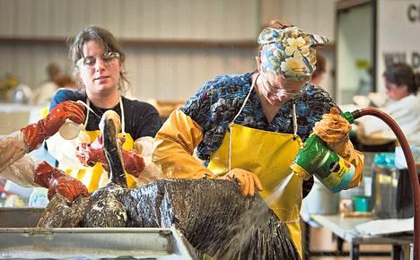 Cassan Pulaski ja Danine Birtel pesivät öljyyn tahriutunutta pelikaania Yhdysvaltojen itärannikolla Louisianassa kesällä 2010.