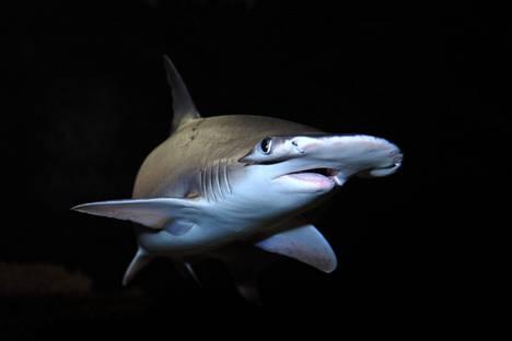 Nuijahai ui akvaariossa. Lajin yksilöt aistivat magneettikentän altaassa järjestetyssä kokeessa.