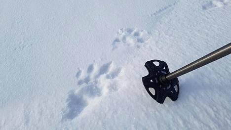 Harri Kauppinen löysi lumesta ahman jäljet. Ne tulivat meren jäältä Granön saaresta Kantarnäsin niemeen Helsingin Salmenkalliossa.