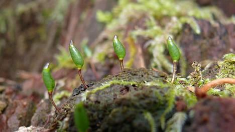 Lahokaviosammalta eli tieteelliseltä nimeltään Buxbaumia viridistä kuvattuna Saksassa.