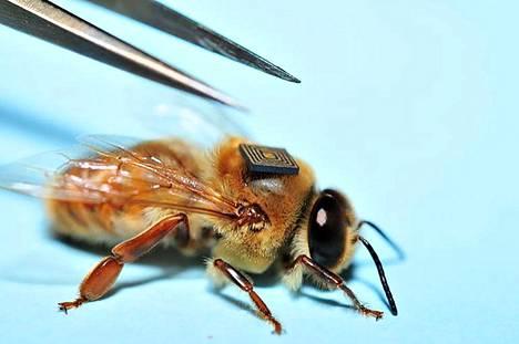 Mehiläisyksilöä seurataan sirun avulla.