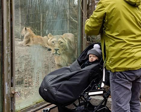 Julius (vas.) ja Tomi Leiqvist tutustuivat leijoniin Korkeasaaren ensimmäisenä aukiolopäivänä.