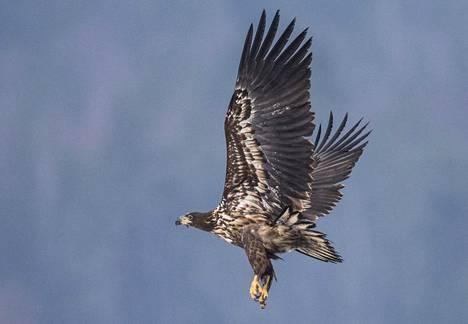Myös merikotkista on löytynyt lintuinfluenssaa Ahvenanmaalta.