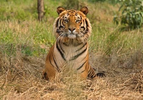 Intiantiikeri Jaldaparassa sijaitsevassa tiikereiden suojelukeskuksessa vuonna 2010.