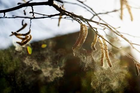 Koivun siitepöly aiheuttaa monille allergiaoireita.