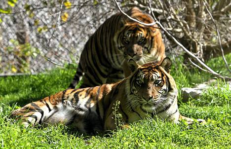Harvinainen Sumatran tiikeri Hana, edessä, sai Jerusalemin eläintarhaan parittelukumppanikseen Saksasta lajitoverinsa Avigdorin. Hana tappoi ja söi kaksi viisiviikkoista pentuaan, mikä oli isku eläintarhan monivuotiselle yritykselle saada uhanalainen eläin lisääntymään ja pelastumaan sukupuuttoon kuolemiselta. Sumatran tiikereitä on jäljellä 400-500.