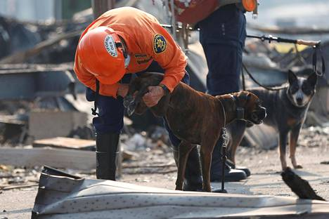 Pensaspaloissa kadonneita etsitään myös koirien avulla. Kuvassa koiranhoitaja tarkistaa, ovatko koiran tassut vielä etsintäkunnossa. Kuva on Santa Rosasta, missä pensaspalot ovat riehuneet kenties pahimmin.