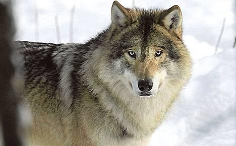 Susi Ähtärin eläinpuistossa helmikuussa.