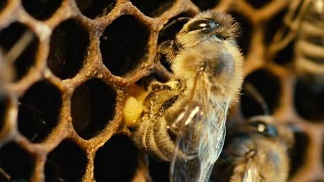 Mehiläinen on hyvä renki.