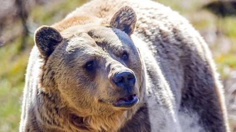 Jyhkeä harmaakarhu heräili jo helmikuussa talviunilta karhujen turvakodissa Pristinan itäpuolella Kosovossa.
