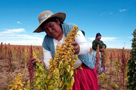 Bolivialaisnaiset tarkastivat huhtikuussa kvinoapeltoja Tarmayassa La Pazin kaupungin eteläpuolella.