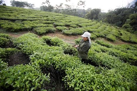 Teetä viljellään vientiin Tan Sonissa lähellä Hanoita Vietnamissa.