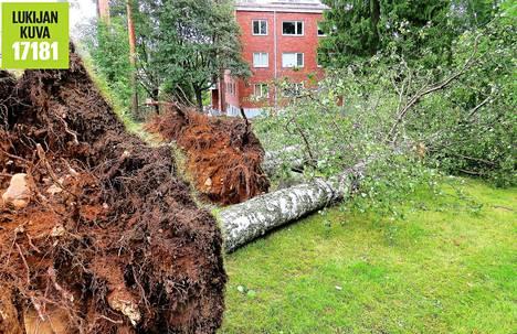 Maunulassa Haavikkotien varrella oli myrsky kaatanut kolme vierekkäistä koivua.