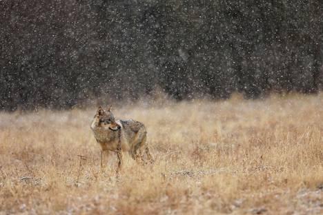 Kuvan susi on pohjoisen metsäalueella. Huhtikuussa kerrottiin kuitenkin sudesta pääkaupunkiseudulla.