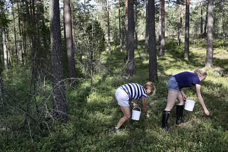 Mustikkaa löytyi Nuuksion metsistä kesällä 2015. Tämän vuoden mustikkasato on noin 2–3 viikkoa jäljessä verrattuna viime vuosiin.