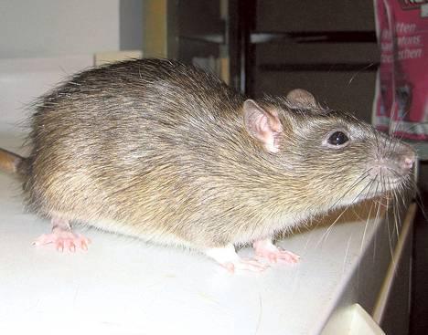Rotta hahmottaa ympäristöä myös viiksillään.