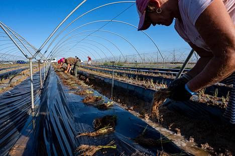 Romanialainen Flori Pîrcalabu (oik.), puolalainen Edyta Sadowska ja romanialainen Mariana Costache ovat istuttaneet mansikoita vuosia tutulla tilalla Andalusiassa.
