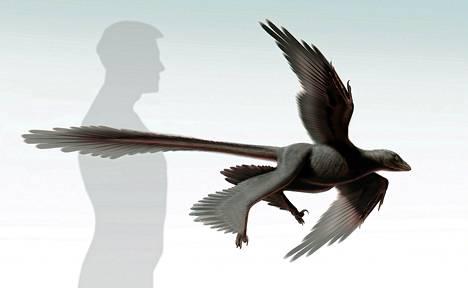Changyuraptor taiteilijan tulkinnan mukaisena piirroshahmona.
