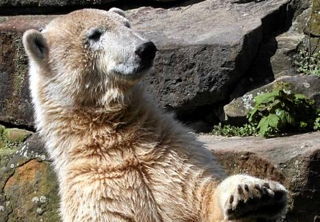 Jääkarhu Knut oli nähtävyys Berliinin eläintarhassa.
