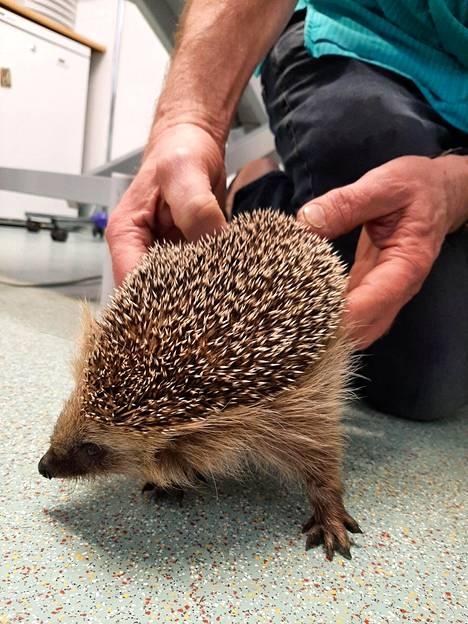 Siilin etujalka oli jäänyt rotanloukkuun kiinni. Jalka oli pahasti turvoksissa, ja sen pelättiin murtuneen. Eläinlääkärissä jalka todettiin kuitenkin ehjäksi ja siili sai palautusluvan takaisin luontoon.