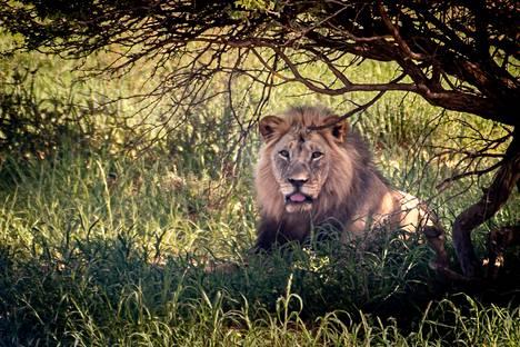Leijona on suuri ja vaikuttava kissapeto.