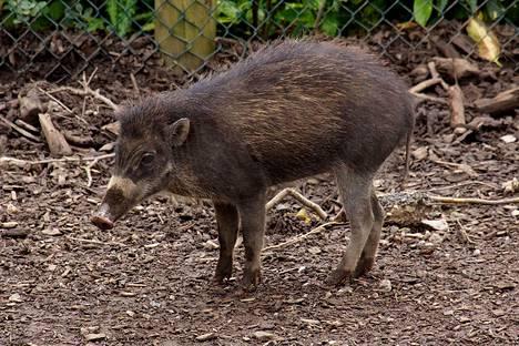 Visayanpartasika on äärimmäisen uhanalainen laji. Kuvan yksilö elää Chesterin eläintarhassa Britanniassa.