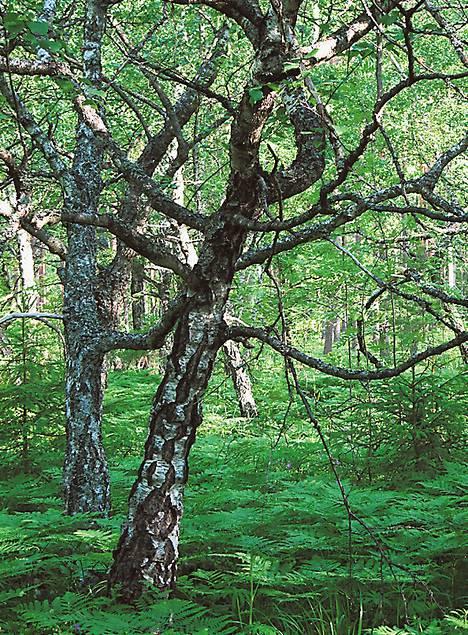 Visakoivu on rauduskoivun geneettinen muunnos. Sen puuainekseen on sekoittunut kuorisolukkoa.
