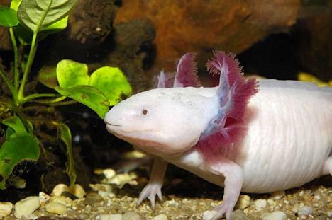 Nuorta salamanteria muistuttavan aksolotlin tunnistaa ulkoisista kiduksista.