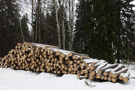 The trees felled in the thinning of the pine forest have been gathered in the parking area of the Uutela dog pen.