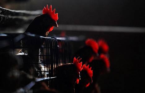 Kanoja Shanghain ulkopuolella olevalla tilalla viime huhtikuussa. Kanat saavat lintuinfluenssaviruksen helposti.
