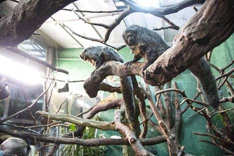 Korkeasaaressa elää seitsemän valkopääsakia. Niistä kuusi on syntynyt Korkeasaaressa, yksi Lontoon eläintarhassa.