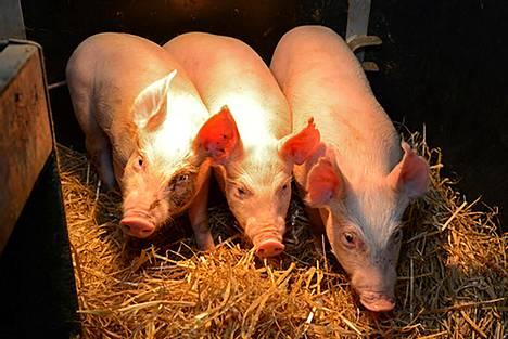 PRSS-taudille immuuneiksi editoituja sikoja Roslin-instituutissa.