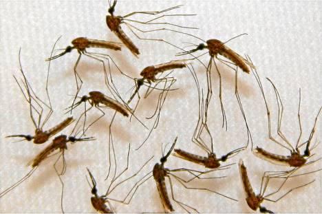 Malariaa levittäviä hyttysiä.