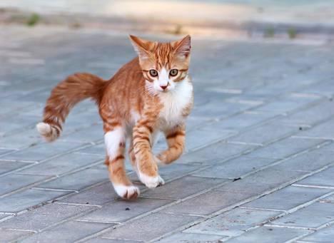 Kissa osaa laskeutua joustavasti.