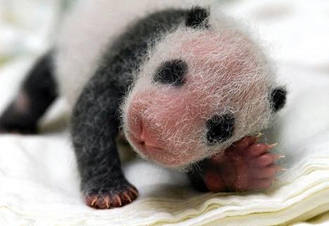Yleisö pääsee näkemään ensimmäisen Taiwanissa syntyneen pandanpennun vasta kolmen kuukauden kuluttua.