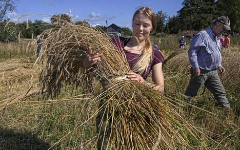 Emma Erkkilän ruislyhde on valmis, Reiska Järvenkylä menee leikkaamaan lisää ruista.