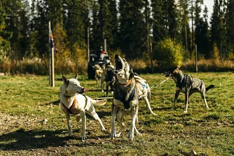 Lapissa on noin 4 500 rekikoiraa. Koira-ajeluiden kysynnän laskiessa uhkana on, että osa koirista joudutaan myymään tai lopettamaan.