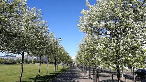 Kesäisin pilvikirsikat kukkivat hattaraisen valkoisina.