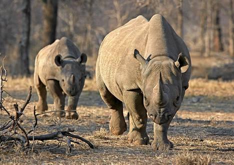 Suippohuulisarvikuonoja Tansanian Serengetin kansallispuistossa vuonna 2010. Laji on erittäin uhanalainen.