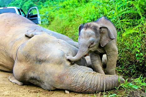 Eloonjäänyt poikanen oli kuolleen emonsa lähellä Sabahissa Borneon saarella 23. tammikuuta. Saarelta löydettiin kymmenen tapettua borneonnorsua.