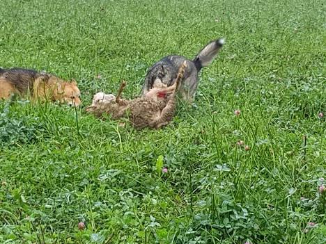 Vapaana juosseet koirat hyökkäsivät lammaslauman kimppuun Sotungissa.
