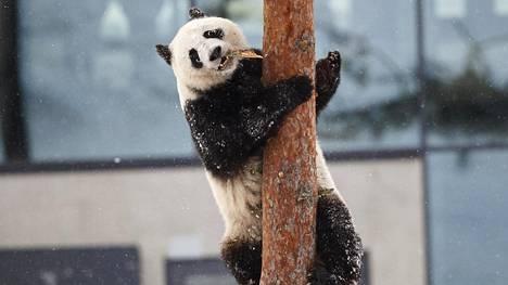 Jin Bao Bao eli Lumi kiipeili puussa, kun Ähtäri Zoon Pandatalo aukesi yleisölle lauantaina.
