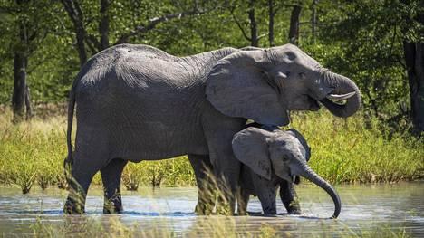 Savanninorsuja Botswanassa huhtikuussa 2016. Norsuemo poikasineen viihtyy juomapaikalla.