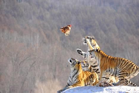 Siperiantiikerit nappaavat herkkupalan eläintenkasvatuskeskuksessa Mudanjiangissa, kiinalaisessa Heilongjiangin provinssissa.
